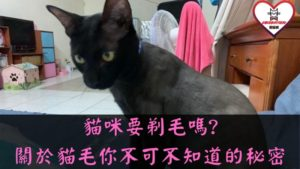 貓咪要剃毛嗎
