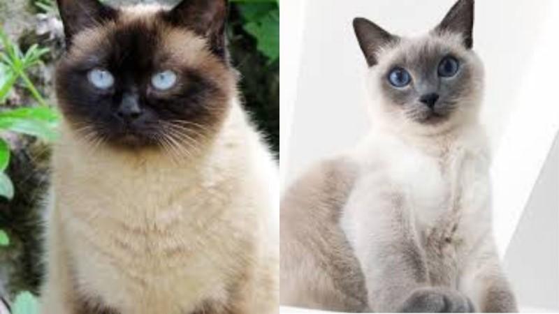 緬甸貓和暹羅貓